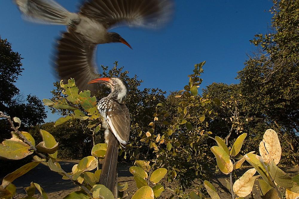 Yellow hornbills, Chobe Botswana