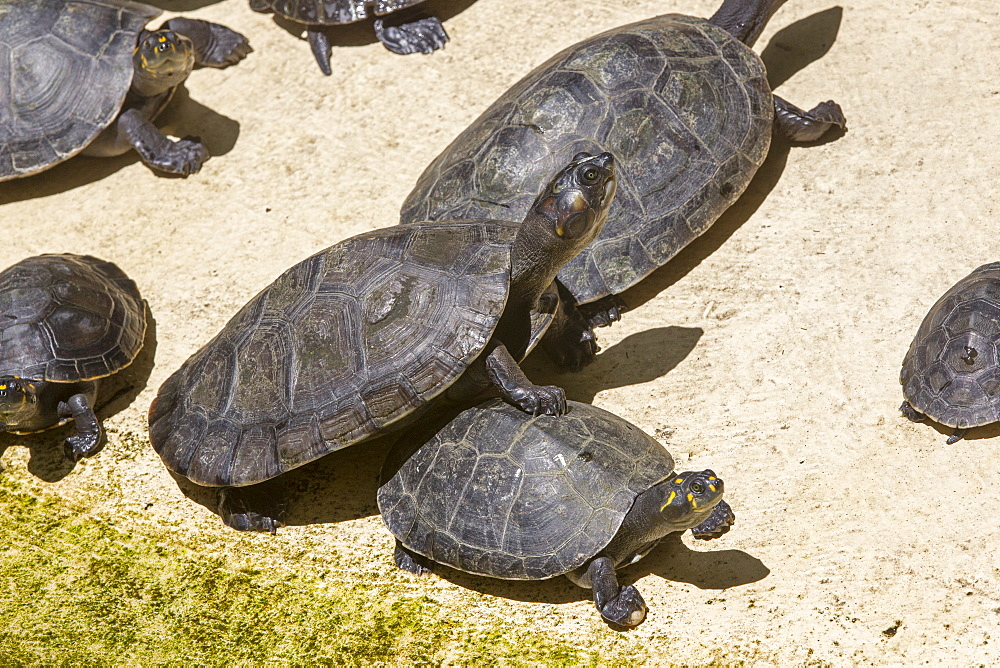Yellow-spotted River Turtles, Amazonas Brazil