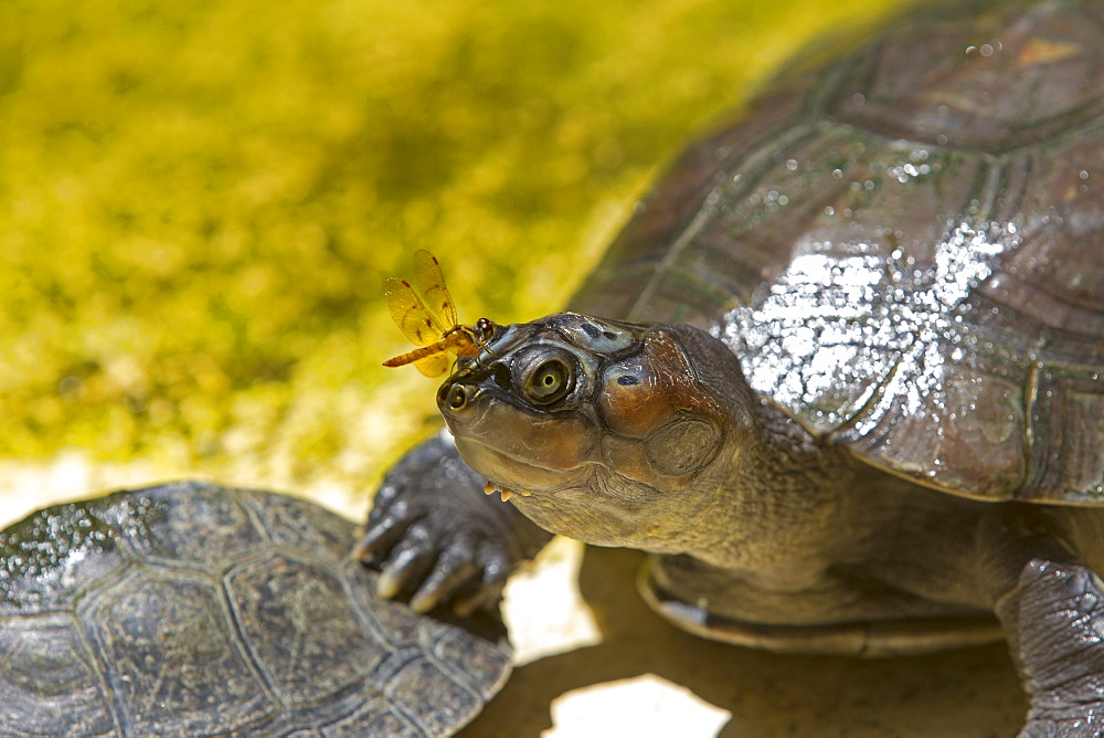 Giant South American turtle, Amazonas Brazil