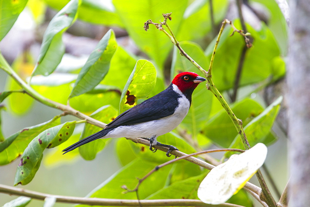 Yellow-billed Cardinal on a branch, Amazonas Brazil