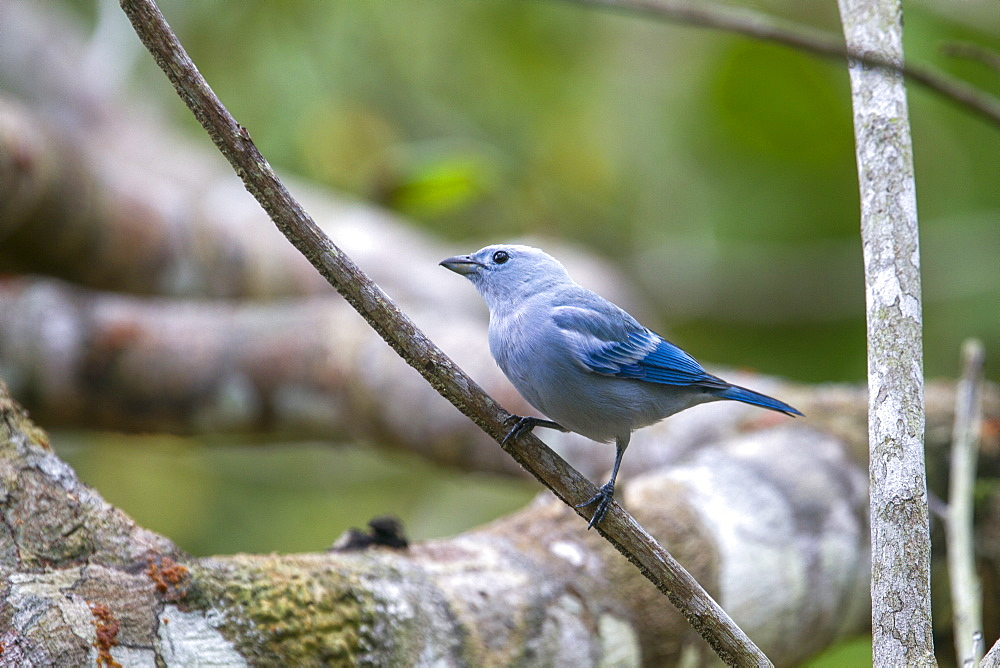 Blue-grey Tanager on a branch, Amazonas Brazil