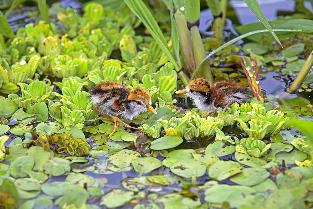 Young Wattled Jacanas in water hyacinths, Amazonas Brazil