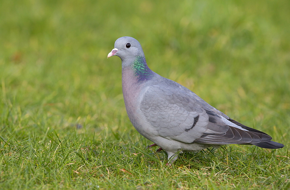 Stock Dove looking for food in winter, GB