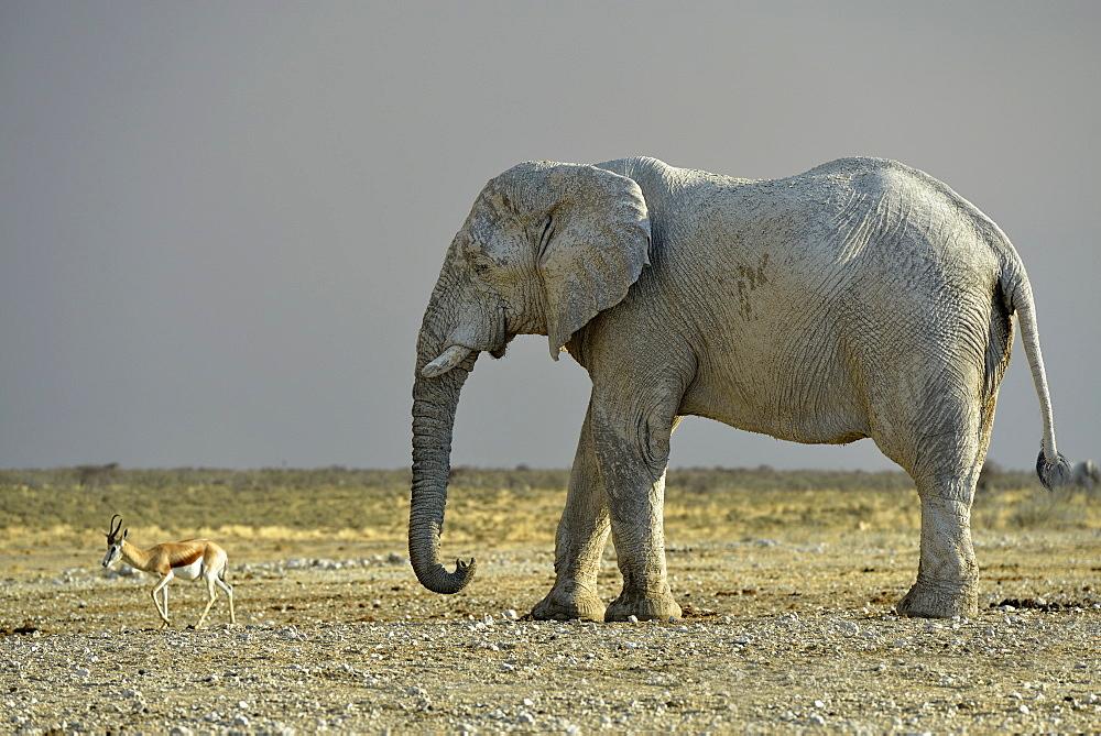 Elephant and Springboks at waterhole, Etosha Namibia