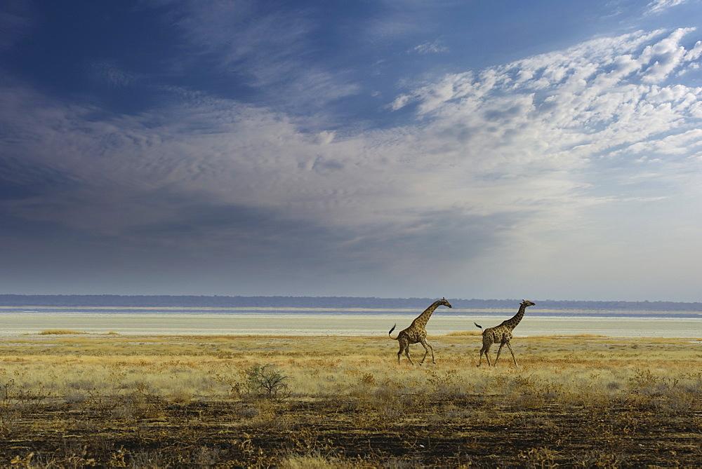 Giraffes in the Etosha Pan, Namibia