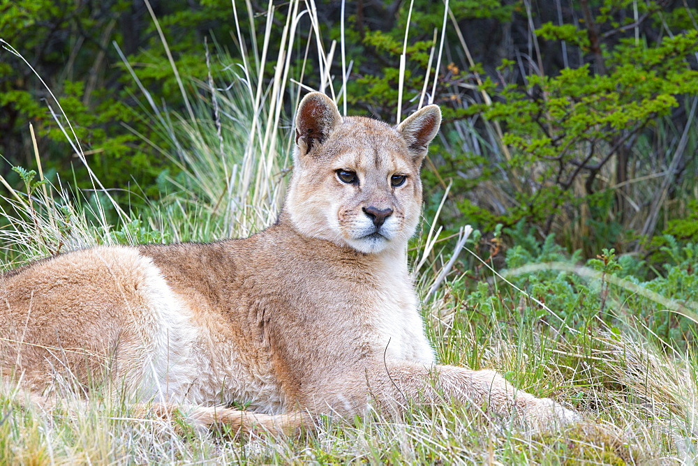 Puma lying in the scrub, Torres del Paine Chile
