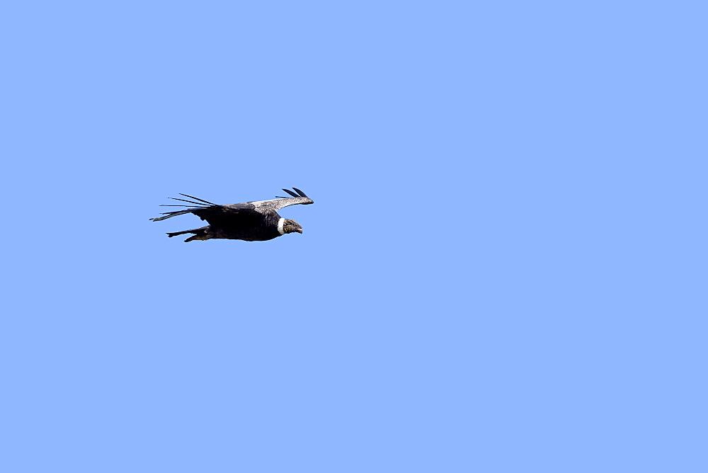Andean condor in flight, Torres del Paine Chile