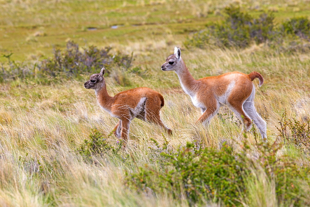Young Guanacos in the steppe, Torres del Paine Chile