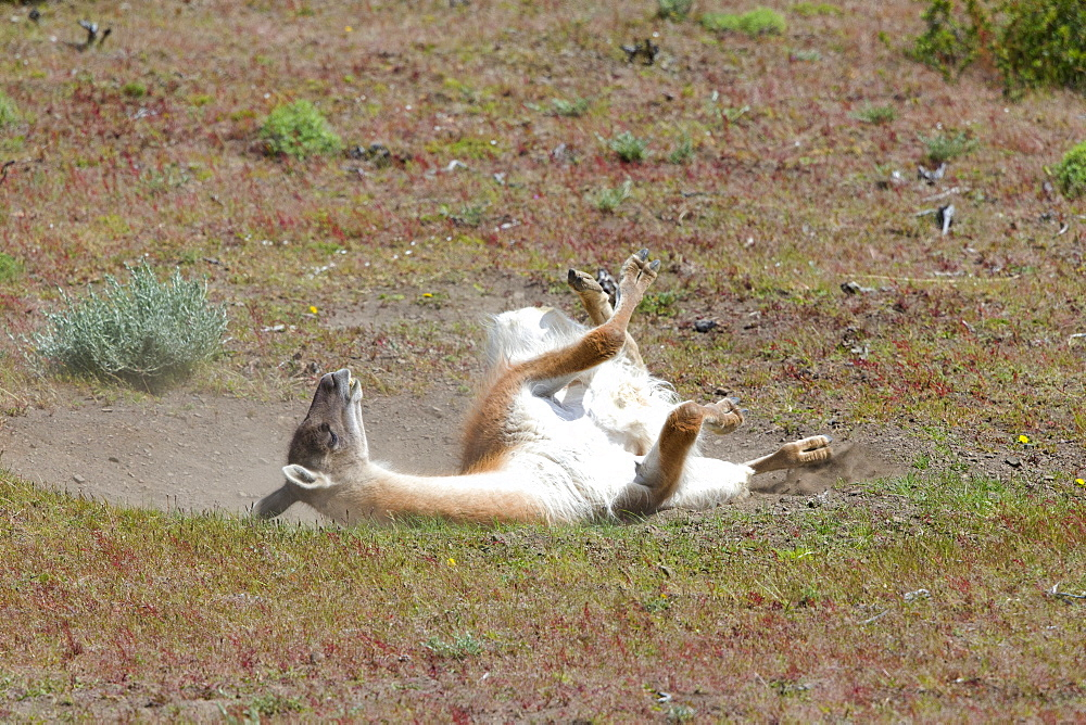 Guanaco rolling in the earth, Torres del Paine Chile