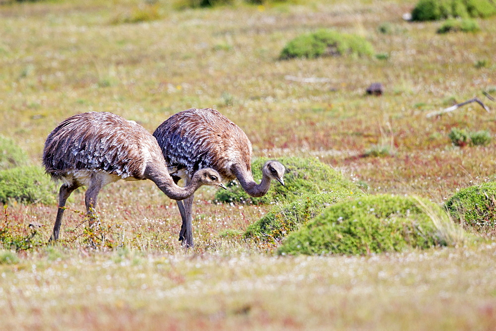Greater Rhea in the steppe, Torres del Paine Chile