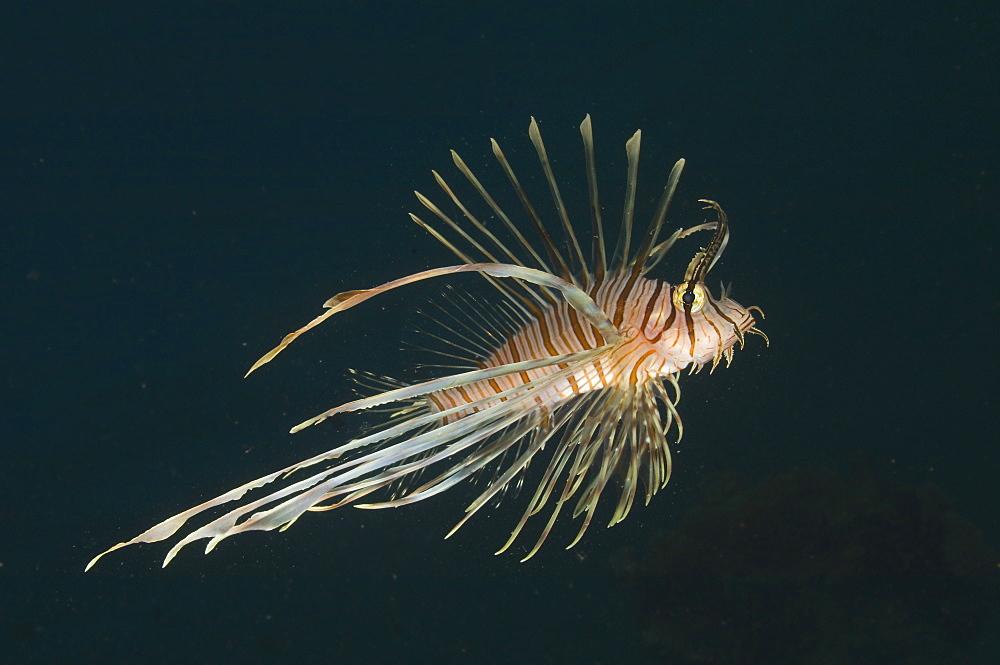 Juvenile lionfish, Fiji