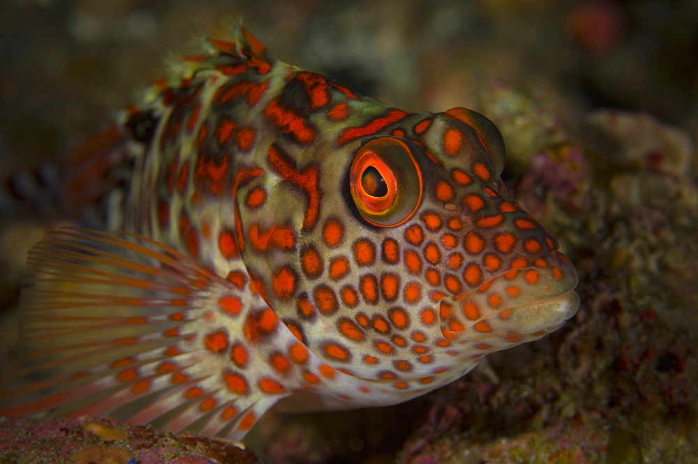 Splendid hawkfish on reef, Raoul Island  New Zealand
