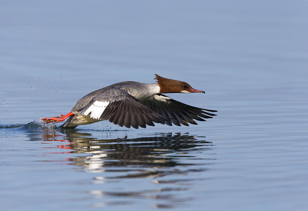 Female Goosander taking off from the water, Switzerland