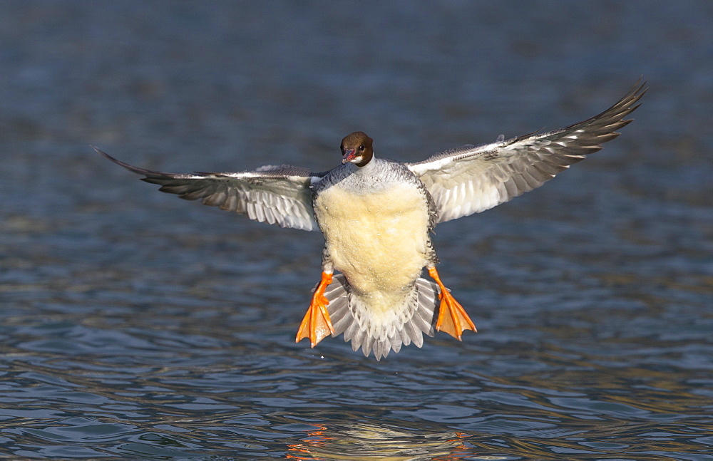 Female Goosander landing on the water, Switzerland