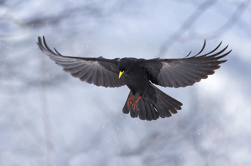 Yellow-billed Chough in flight in winter, Switzerland