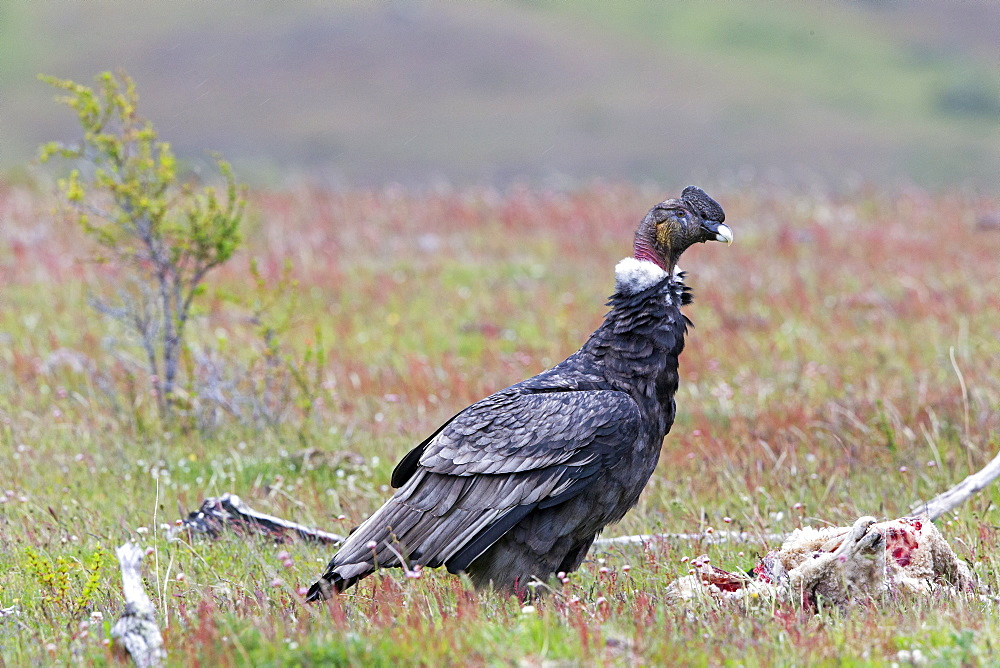 Andean condor on carcass, Torres del Paine Chile
