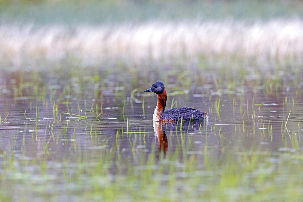 Great Grebe on water, Torres del Paine Chile