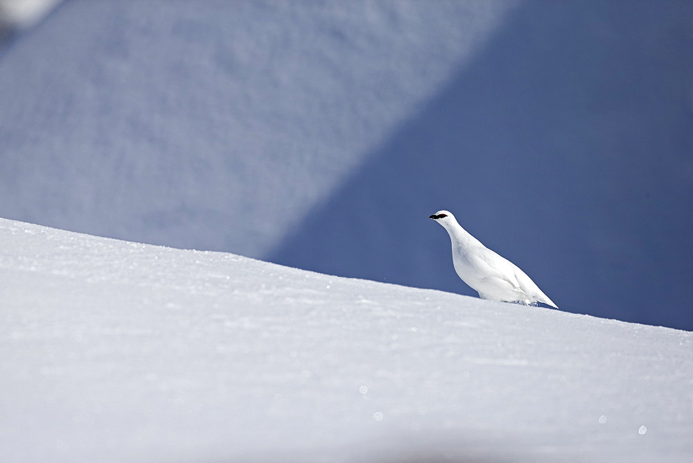 Male ptarmigan in the snow, Swiss Alps