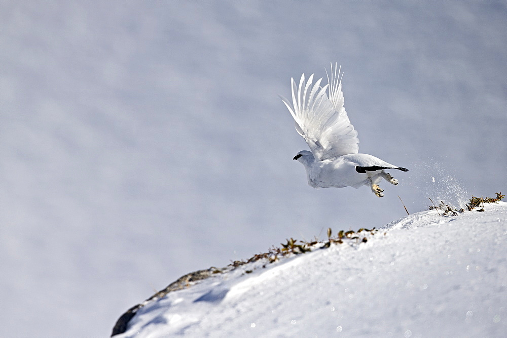 Male ptarmigan flying away in the snow, Swiss Alps