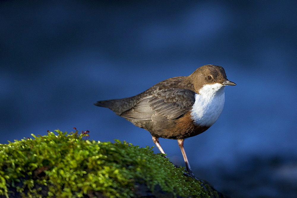 White throated Dipper in the river, Vaud Switzerland