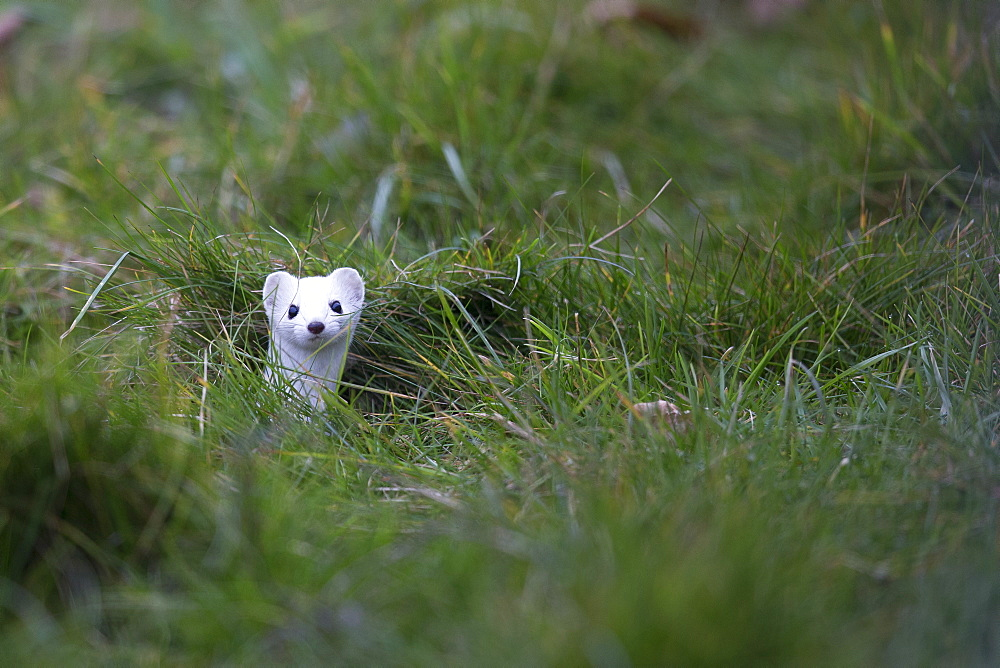 Ermine in winter coat in the grass, Swiss Alps