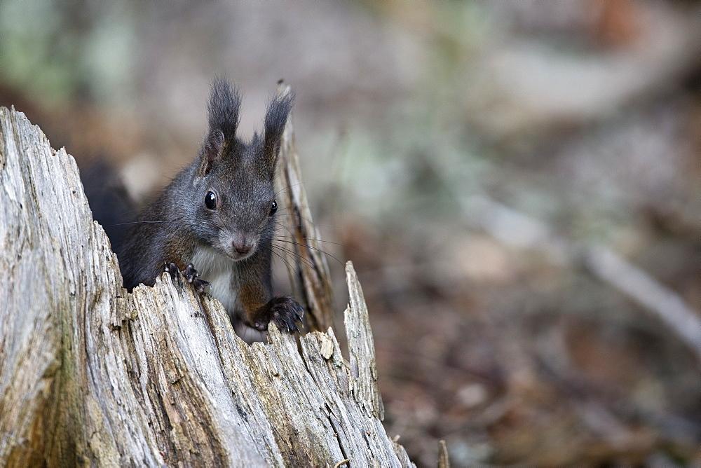 Red squirrel on a stump, Alpes Vaud Switzerland