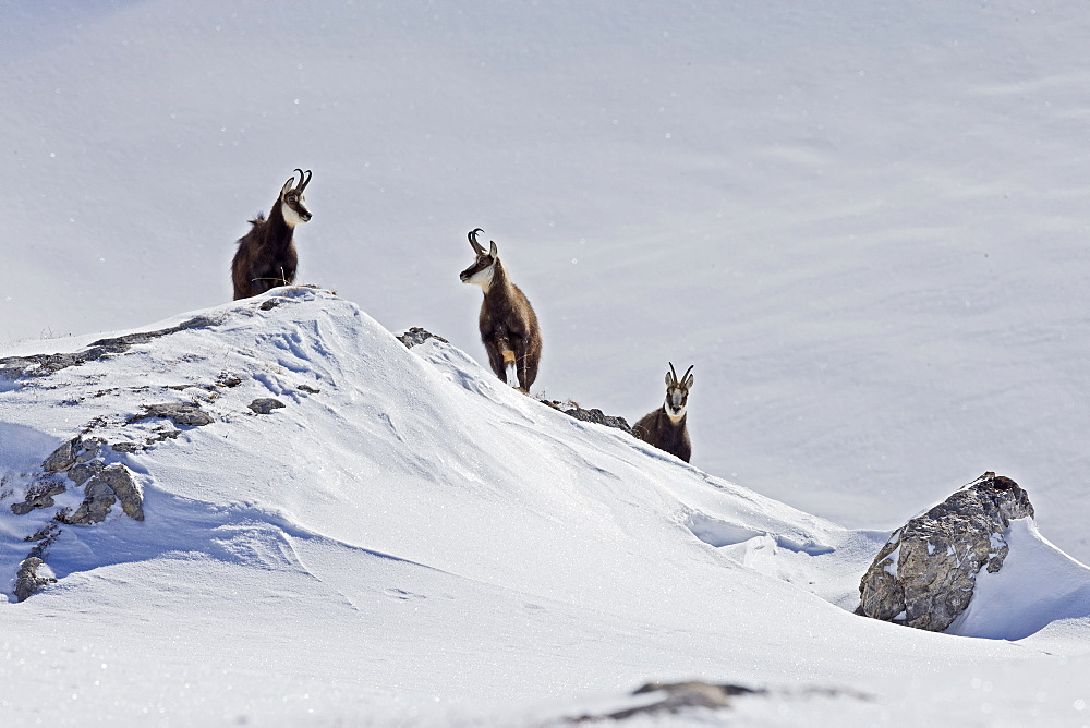 Alpine Chamois in Snow, Alps Vaud Switzerland