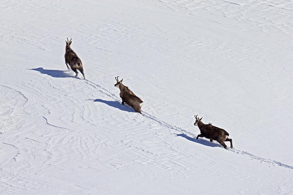 Alpine Chamois in Snow, Alps Vaud Switzerland