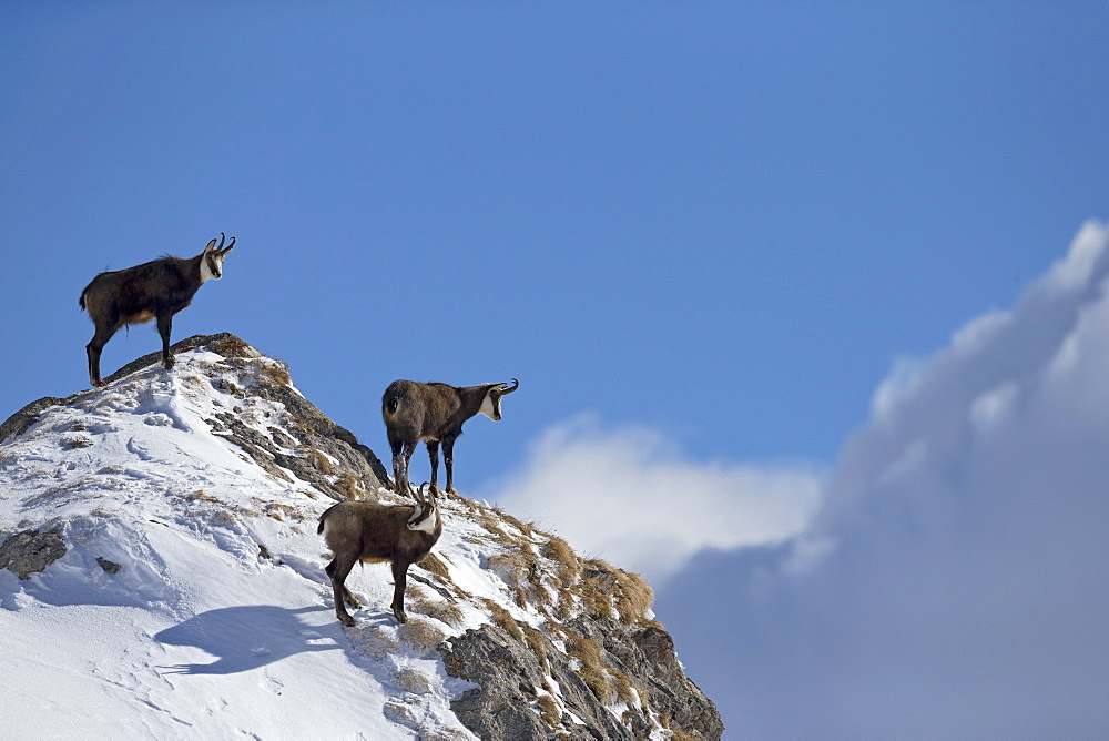 Alpine Chamois on summit, Alps Vaud Switzerland