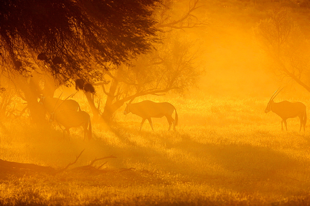 Gemsboks at dawn, Kalahari Kgalagadi South Africa