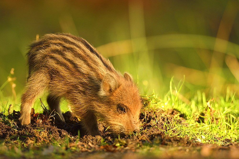 Young Wild Boar burrowing, Burgundy France
