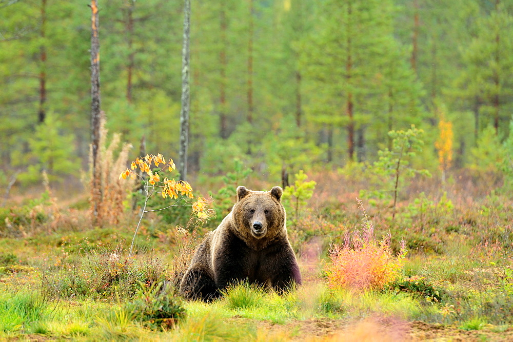 Brown bear in a clearing in autumn, Finland