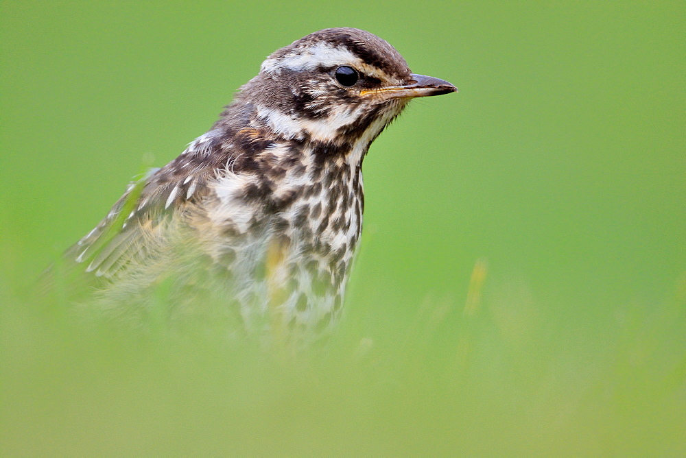 Portrait of Redwing, Akureyri Iceland