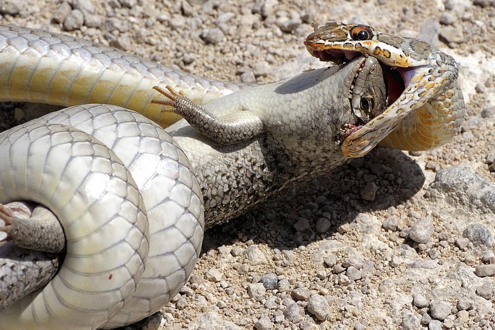 Olive Whip Snake catching a Lizard, Etosha Namibia