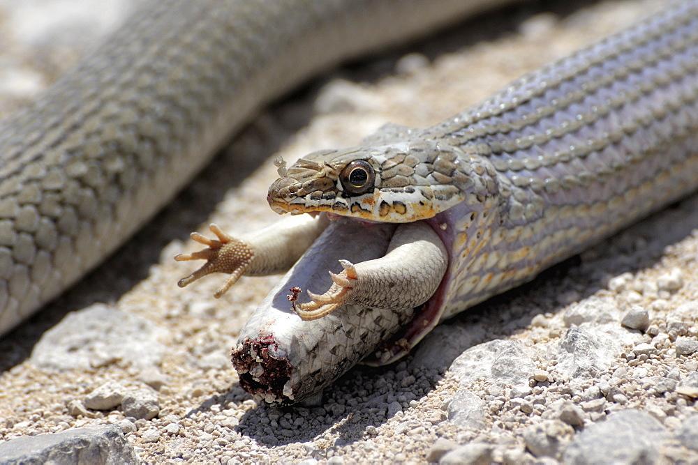 Olive Whip Snake eating a Lizard, Etosha Namibia
