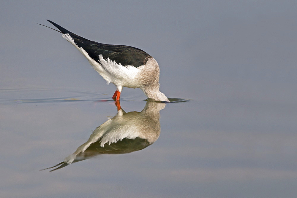 Black-winged Stilt feeding in water, Rajasthan India
