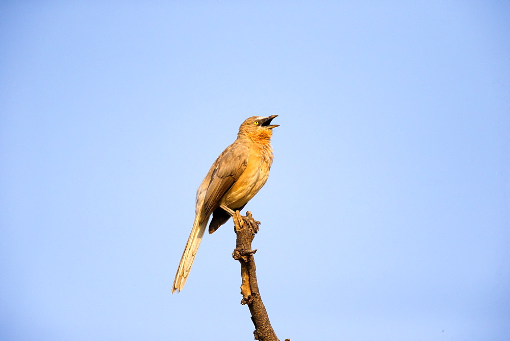 Large Grey Babbler singing on a branch, Rajasthan India