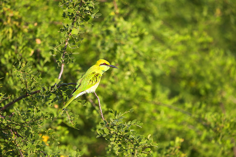 Green Bee-eater on a branch, Rajasthan India