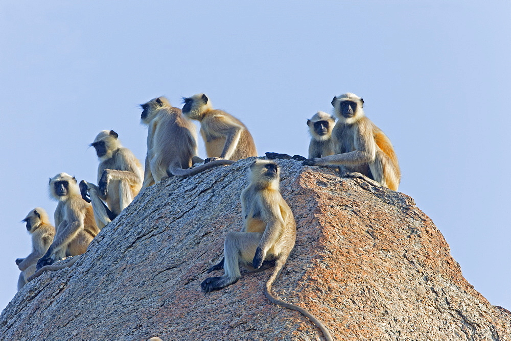 Hanuman Langurs on rock at dawn, Rajasthan India