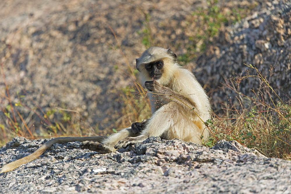 Hanuman Langur sitting on rock, Rajasthan India