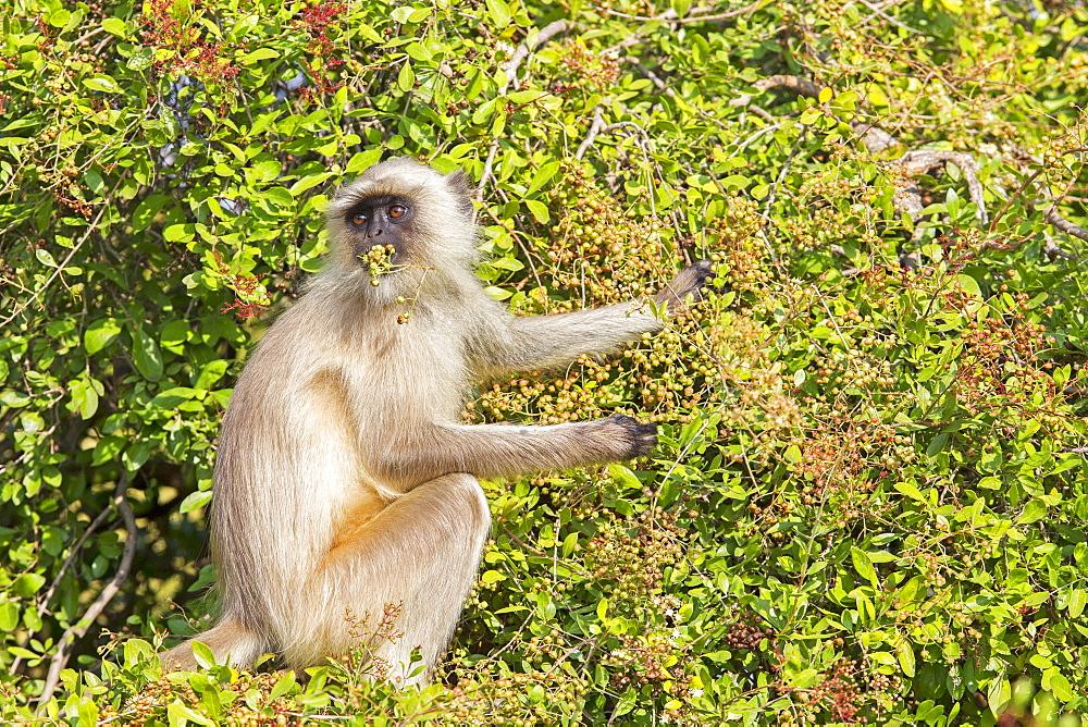 Hanuman Langurs eating fruits in a tree, Rajasthan India