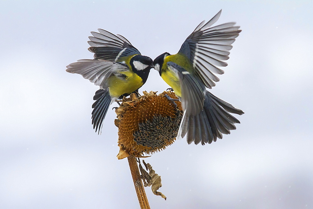 Great Tits fighting on a Sunflower, Balkans Bulgaria