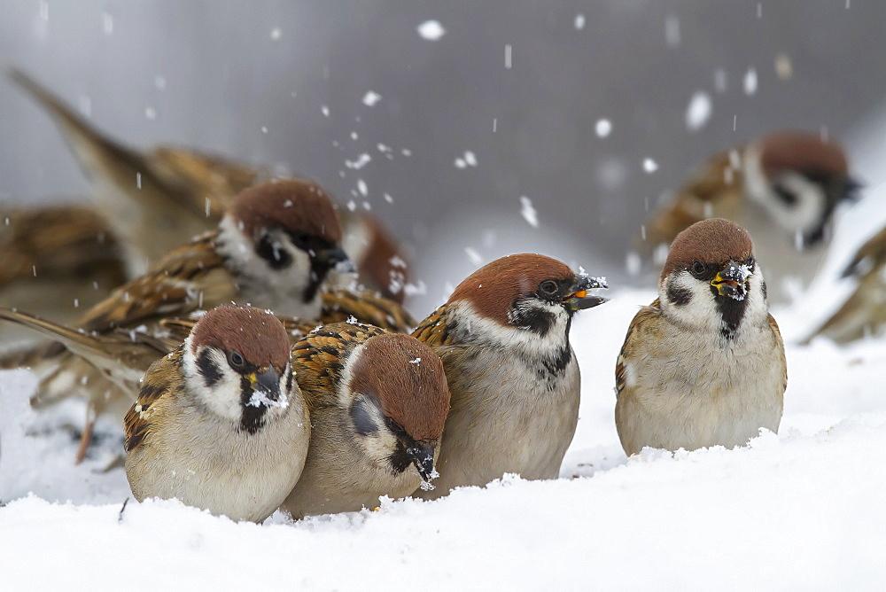 Eurasian Tree Sparrows in snow , Balkans Bulgaria