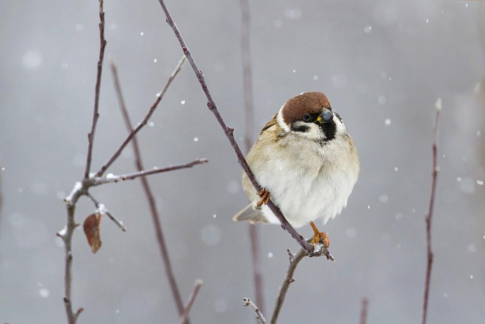 Eurasian Tree Sparrow on a branch, Balkans Bulgaria