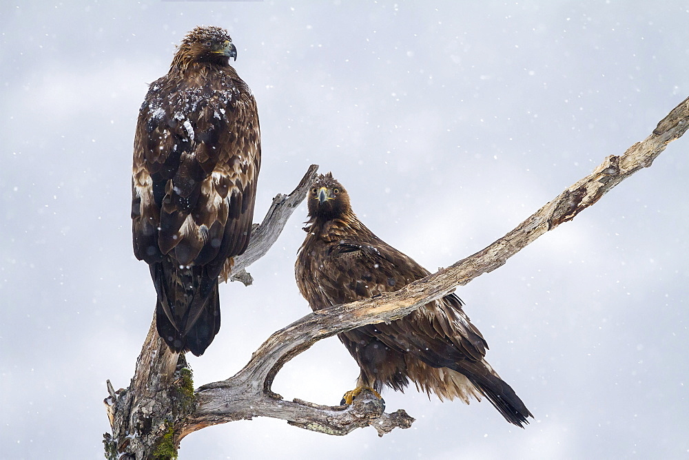 Golden Eagles on dead tree in winter, Balkans Bulgaria