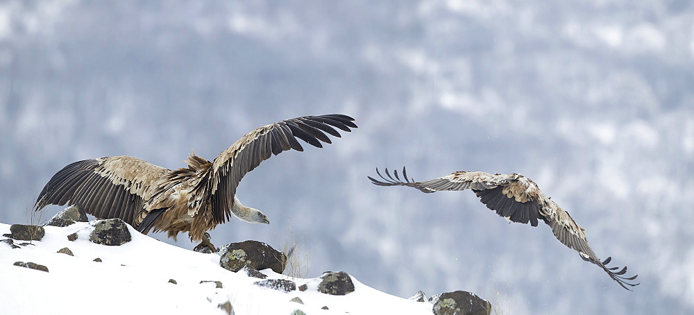 Griffon Vultures on rocks in winter, Balkans Bulgaria