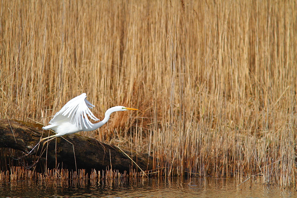 Great Egret flying to a reed bed, France