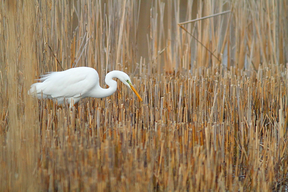 Great Egret flying in a reed bed, France