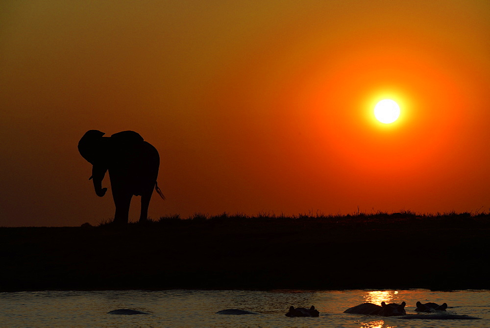 Elephant and Hippos at dusk, Chobe Botswana