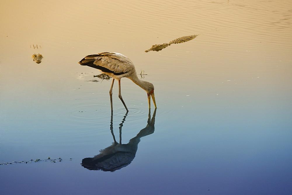 Yellow-billed Stork and Crocodile in water, Chobe Botswana